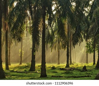 roll of light at palm oil plantation
