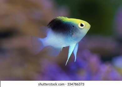Rollands Damselfish Chrysiptera Rollandi Also Known As Black Cap This Variety And
