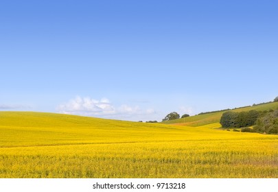 Rolling English rural landscape of golden yellow rapeseed or canola