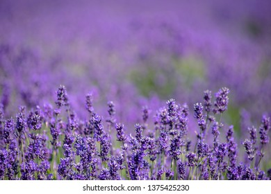 Rolling field of endless lavender