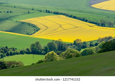 Rolling fields of rapeseed in bloom, with tractor tracks and traditional hedgerow