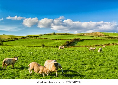 Rolling green farm fields with sheep under a calm blue sky. Colorful panorama over the meadows of sheep farmland of welsh valley near Llanwrst in Wales, United Kingdom