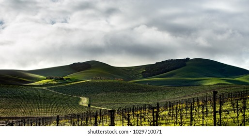 The rolling green vineyards of Napa. As winter changes to spring the yellow mustard flowers and the misty clouds light the hills. A long driveway leads to a house perched on a hill in beam of light.