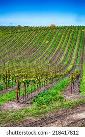 Rolling hills covered with row upon row of grape vines in the cultivated vineyards of California wine country.