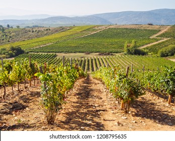 Rolling hills covered with vineyards - Villafranca del Bierzo, Castile and Leon, Spain