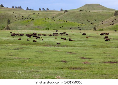 Rolling hills and flatlands of the South Dakota prairie full of families of bison and prairie dogs in the spring at Custer State Park,