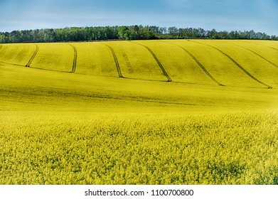 Rolling hills near Auxerre and Chablis are covered with bright yellow rapeseed flowers. This is typical of a significant farming crop in rural France.