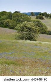 Rolling hills with oak trees and purple lupine fade into the distance