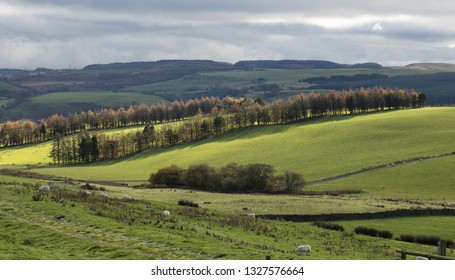 Rolling hills and sheep with rows of windbreak trees