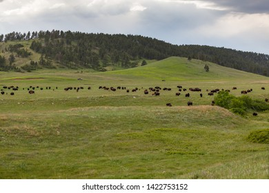 Rolling hills of the South Dakota prairie with a large herd of wild bison or buffalo grazing on the spring grass and a dark storm in the distance.
