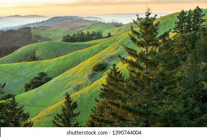 Rolling saturated green hills with fog and sunset in background. Pine trees in foreground. Taken in spring on Mt Tam looking north toward Bolinas.