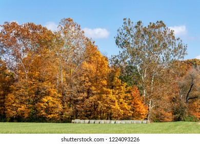 Rolls of hay on the edge of a field are topped with colorful tall trees displaying beautiful fall foliage.