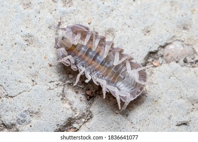Roly poly bug, Armadillidium vulgare, trying to get on his feet again