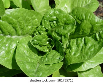 Romaine Lettuce is most often grown as a leaf vegetable. Lettuce is most often used for salads, although it is also seen in other kinds of food, such as soups, sandwiches and wraps.