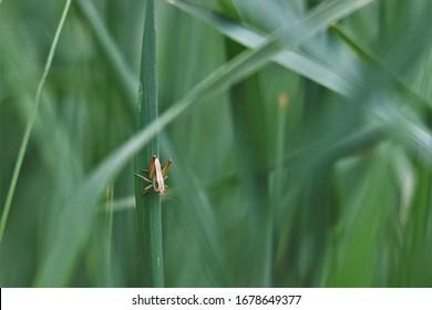 Romalea guttata in the grass