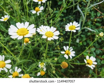 Roman chamomile or camomile, Chamaemelum nobile, growing in Galicia, Spain