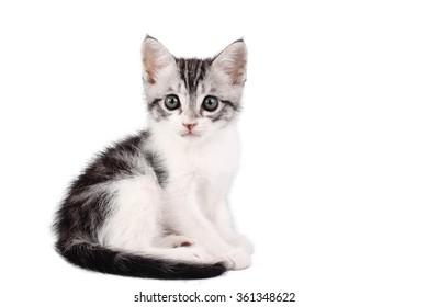 Roman kitten sitting
