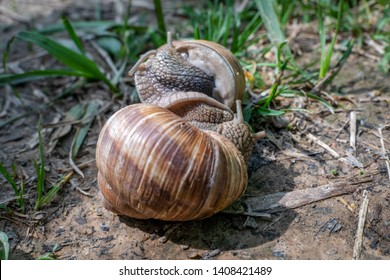 Snail Mating Images, Stock Photos & Vectors   Shutterstock