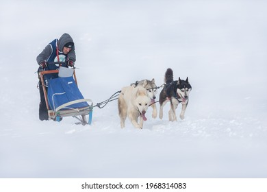 Tușnad, Romania - February 02 2019: Unidentified man participating in the Free Dog Sled Racing Contest
