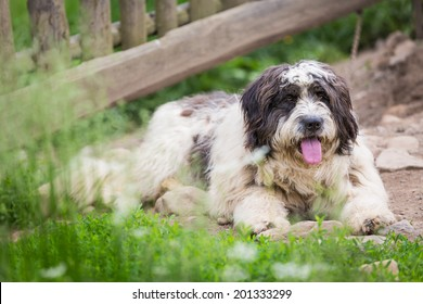 Romanian Mioritic Shepherd Dog sitting. This is a large breed of livestock guardian dog that originated in the Carpathian Mountains of Romania. It is a calm and well-mannered dog.