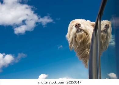 Romanian shepherd dog enjoying a ride with the car.