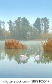 Romantic couple of mute swans on misty pond