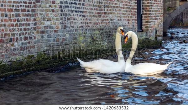romantic-couple-swans-on-bruges-600w-142
