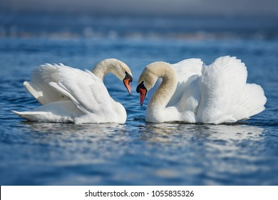 Romantic couple of swans on the lake. Swan reflection in water