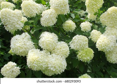 Romantic flowering Hydrangea Limelight Paniculata, white flowers in close up