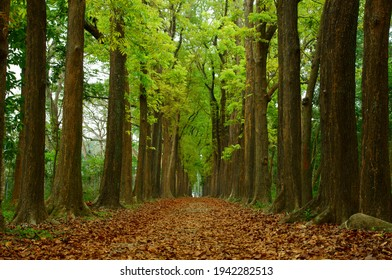 A romantic forest of mahogany in the south of Taiwan