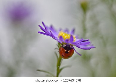 Romantic ladybug, insect on a sky blue aster, blurry grey green background.