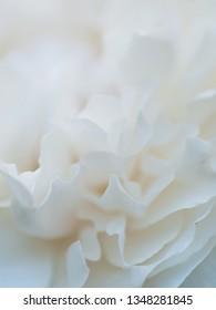 romantic macro shot of beautiful white  rose flower. floral blur background