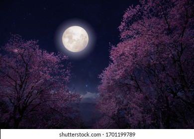 Romantic night scene - Beautiful cherry blossom (sakura flowers) in night skies with full moon. fantasy style artwork with vintage color tone.