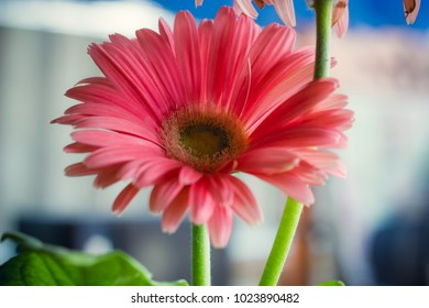The romantic of pink daisy flower