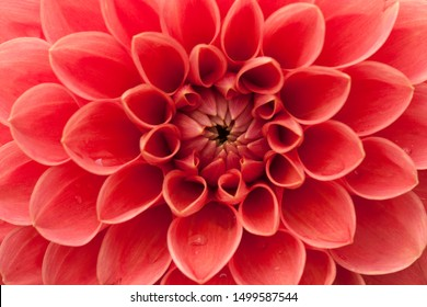 Romantic pink orange petals of beautiful  waterlily dahlia flower with water drops closeup shot under natural sunlight in summer season. Macro photography in full frame  without free space.