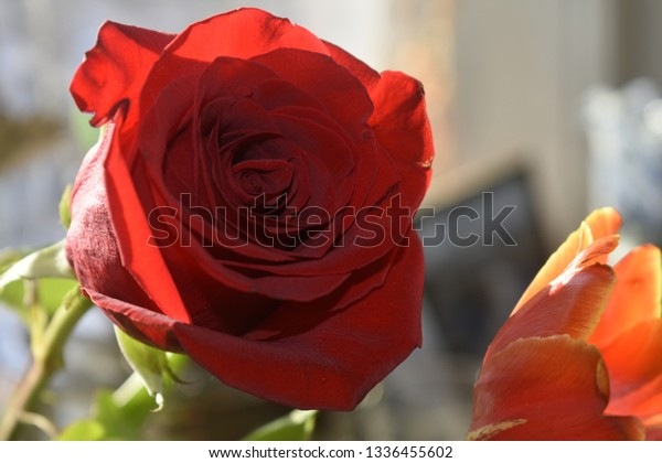 romantic red single rose with blurred background