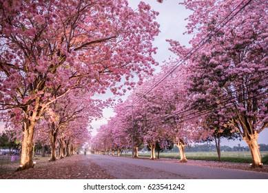 The romantic road,pink trumpet tree
