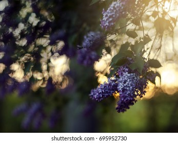 Romantic soft and blurry summer nature background with blooming lilac at sunset, vintage lens bokeh effect