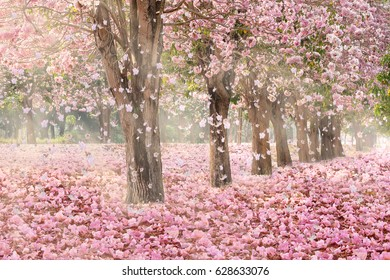 The romantic tunnel of pink flower trees  blossom petals falling covering nature background in Spring season