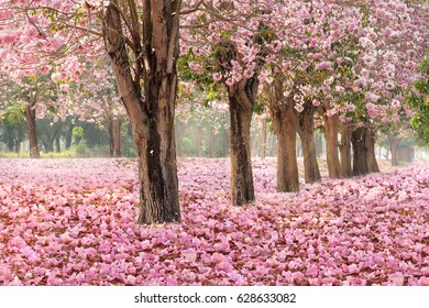 The romantic tunnel of pink flower trees background with falling petals covering the ground.