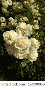 Romantic, vanilla roses on a profusely flowering bush. Sunlit, gorgeous clusters of soft yellow roses on a bush. Luxuriant, creamy white roses in clusters on a prolific bush with dark green leaves.
