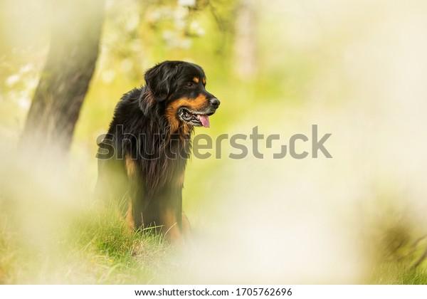 romantic-view-dog-hovawart-black-600w-17