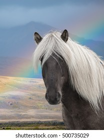Romantic view of an Icelandic palomino horse, or pony, dark brown body with white mane.  With a rainbow and mountain in the background.  Porsmork, Iceland