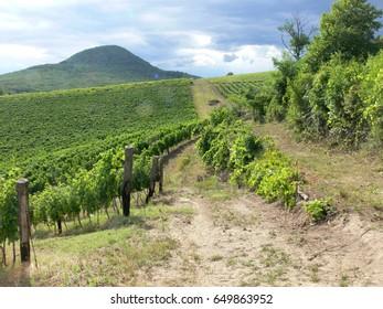 Romantic vineyard in Badacsony area north of Balaton