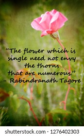 """Romantic vintage single pink tea rose with encouraging quote; """"the flower which is single need not envy the thorns that are numerous."""" - Rabindranath Tagore"""