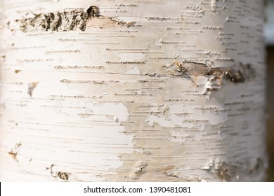 Romantic White Wood Texture of Birch Tree with Bark – Natural Background with Copy Space for Text. It`s Atmosphere of Beautiful Sunny Day.