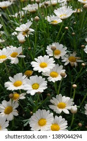 Romantic wild field of daisies with focus on one flower. Oxeye daisy, Daisies, Dox-eye, Common daisy, Moon daisy, Camomile, Chamomile