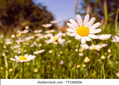 Romantic wild field of daisies with focus on one flower. Oxeye daisy, Leucanthemum vulgare, Daisies, Dox-eye, Common daisy, Dog daisy, Moon daisy, Camomile, Chamomile.