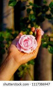 romantinc pink rose in woman hand, flower in beautiful scenery.