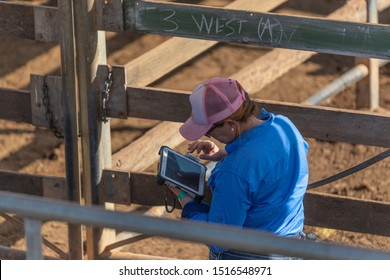 Roma,QLD/Australia - 9/28/2019: Female stock worker using technology in Cattle Auction.